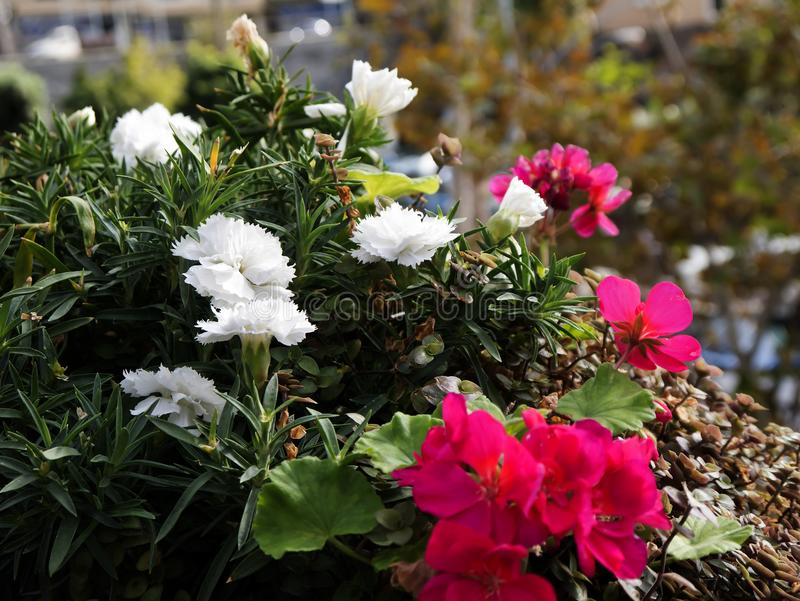 Las flores en Camara de Lobos un pueblo pesquero cerca de la ciudad de Funchal y tienen algunos de los acantilados más altos en e fotos de archivo