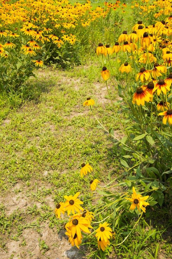 Download Las Flores En La Plena Floración, Hirta Del Rudbeckia Foto de archivo - Imagen de hoja, flores: 42427940