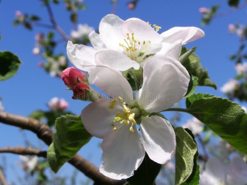 Las flores en un árbol en una primavera cultivan un huerto imagen de archivo libre de regalías