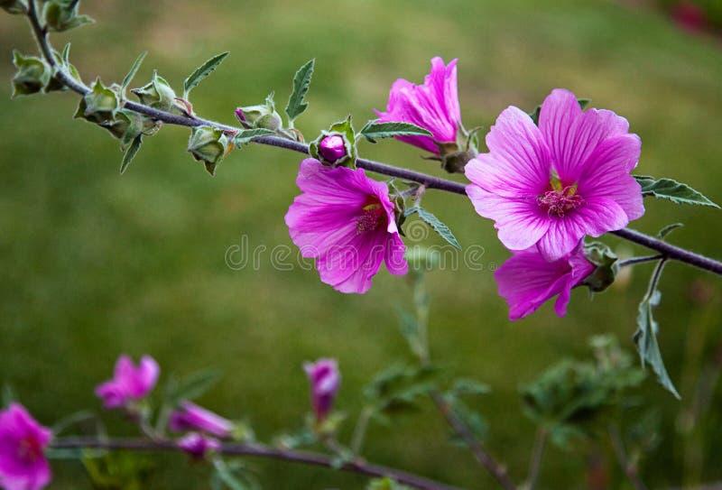 Las flores florecen en casa jardín del patio trasero en primavera imagenes de archivo