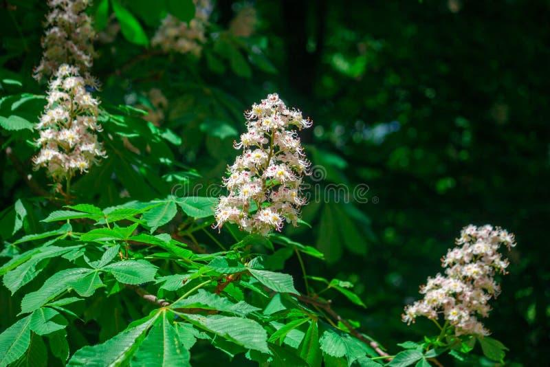 Las flores florecidas hermosas del árbol de castaña aparecen en ramas verdes imágenes de archivo libres de regalías