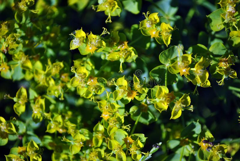 Las flores florecientes del verde del esula del euforbio o del spurge frondoso se cierran encima del detalle macro, fondo orgánic fotos de archivo libres de regalías