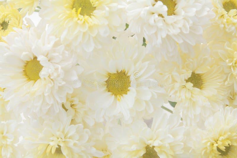 Las flores hermosas del fondo del diente de león, blancas y amarillas están floreciendo en el jardín foto de archivo