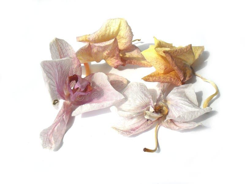 Las flores marchitadas de la orquídea en el fondo blanco imagenes de archivo