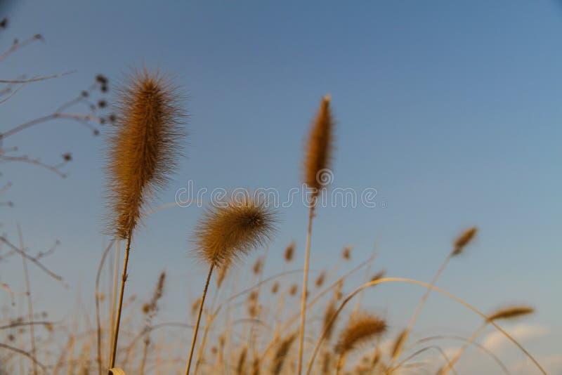 Las flores marrones hermosas de la hierba tienen un cielo borroso como el fondo imágenes de archivo libres de regalías