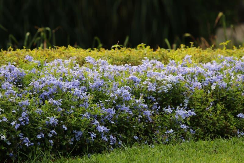 Las flores minúsculas del color azul del auriculata del grafito adornan en el parque y la luz del día suave en el tiempo de igual imágenes de archivo libres de regalías