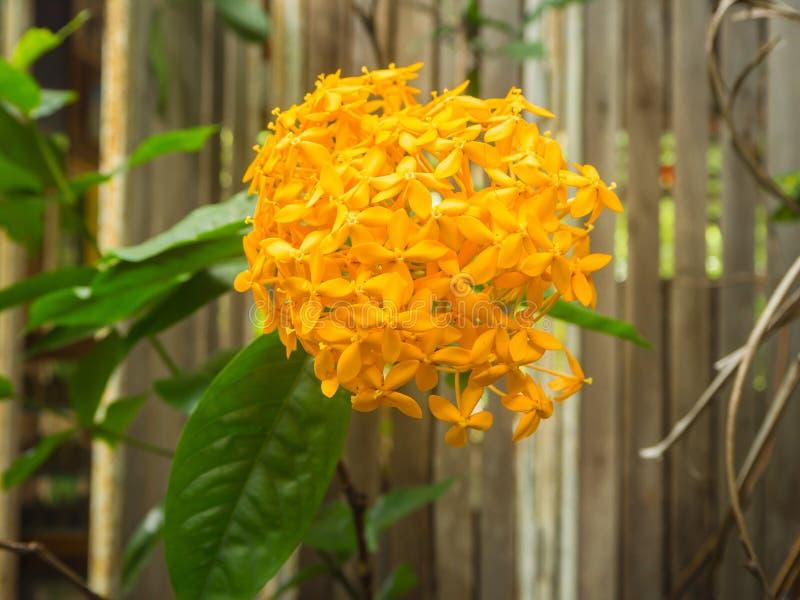 Las flores o el punto amarillas de Ixora florece el flor en un jardín foto de archivo