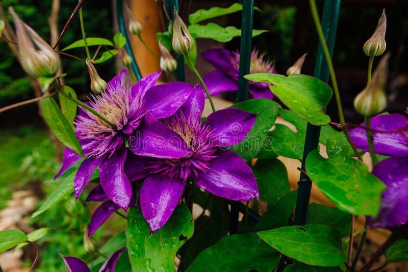 Las flores púrpuras grandes nombraron Clematis o la flor del presidente después de lluvia foto de archivo