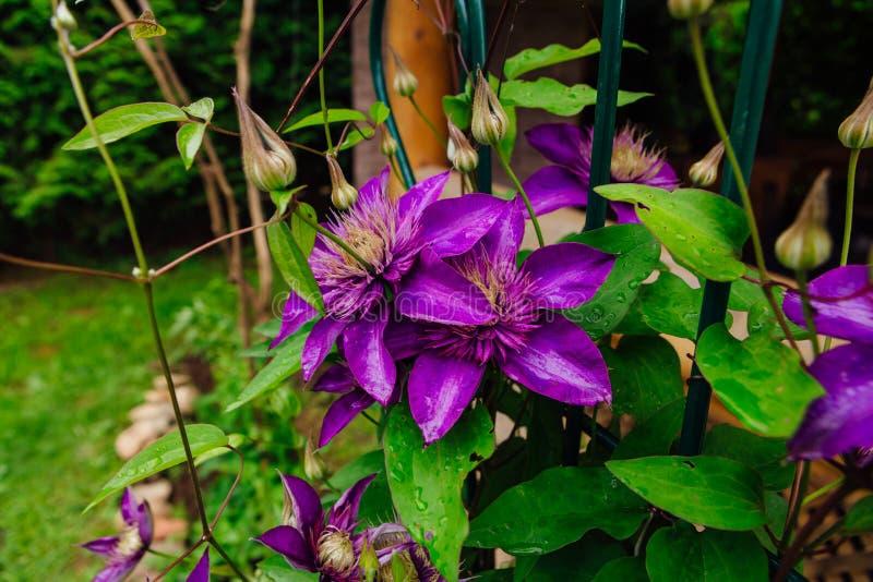 Las flores púrpuras grandes nombraron Clematis o la flor del presidente después de lluvia imágenes de archivo libres de regalías