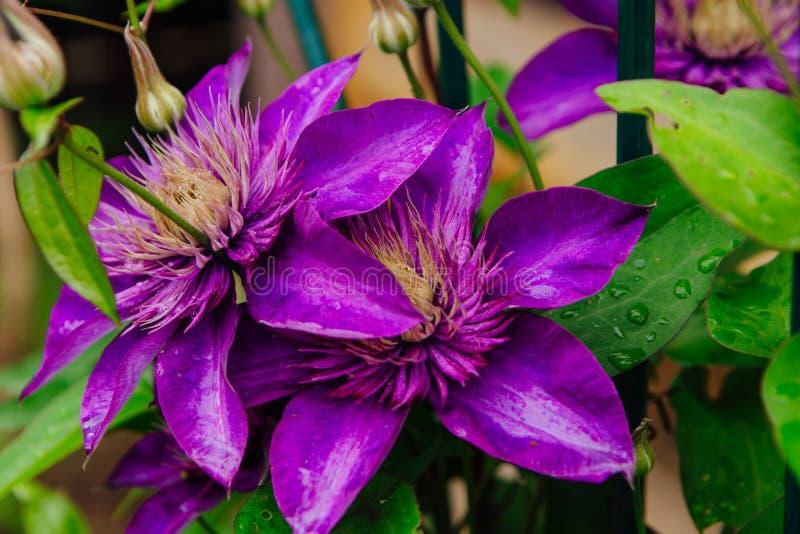 Las flores púrpuras grandes nombraron Clematis o la flor del presidente después de lluvia imagenes de archivo