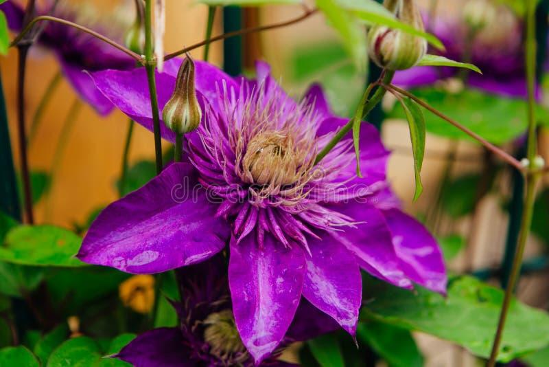 Las flores púrpuras grandes nombraron Clematis o la flor del presidente después de lluvia imagen de archivo