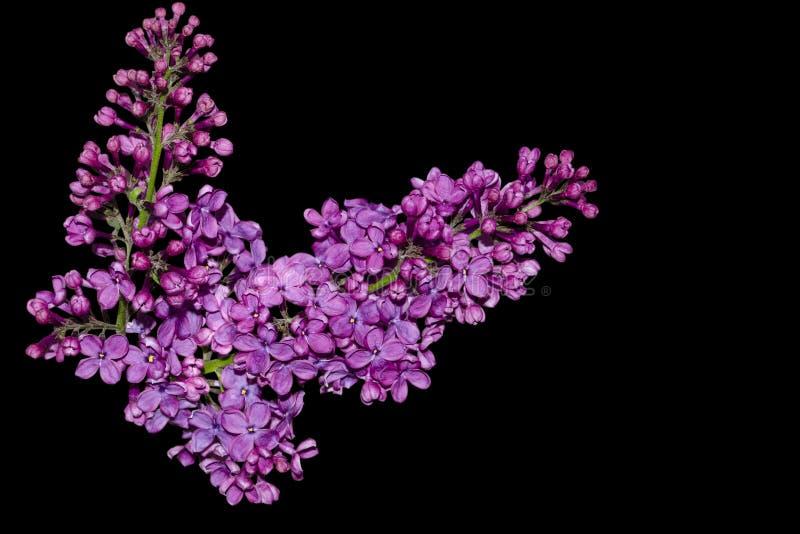 Las flores p?rpuras hermosas de la lila a?slan en fondo negro Flores de la lila en las ramas fotos de archivo