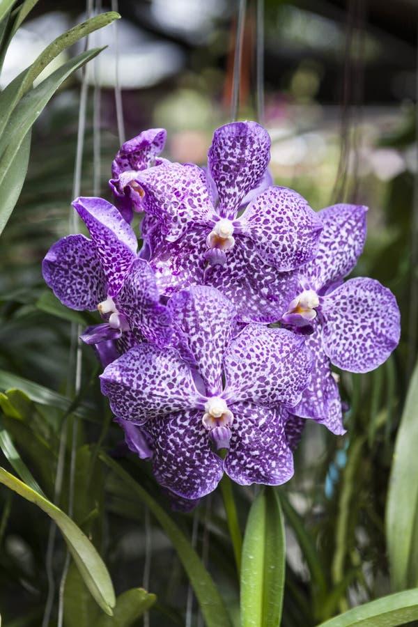 Las flores púrpuras hermosas de la orquídea en una rama en un jardín de orquídeas se cierran para arriba foto de archivo
