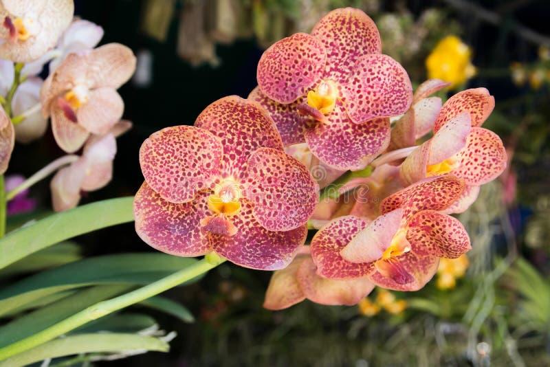 Las flores púrpuras rayadas hermosas de la orquídea en una rama en un jardín de orquídeas se cierran para arriba Orqu?dea p?rpura imagenes de archivo
