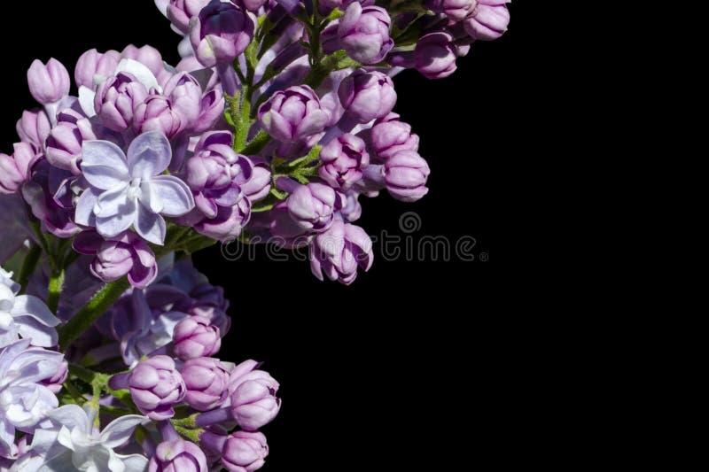 Las flores p?rpuras hermosas de la lila a?slan en fondo negro Flores de la lila en las ramas fotografía de archivo