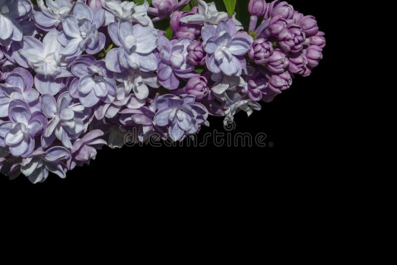 Las flores p?rpuras hermosas de la lila a?slan en fondo negro Flores de la lila en las ramas imagen de archivo libre de regalías
