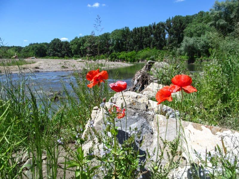 Las flores rojas de la amapola se cierran para arriba contra la perspectiva del río Bystrytsia Solotvynska de la montaña en Ivano foto de archivo