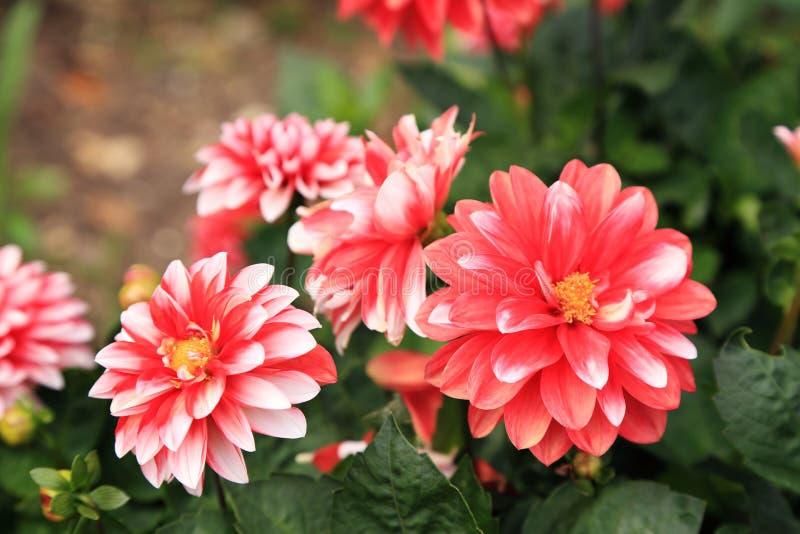 Las flores rojas de la dalia florecen en jardín fotografía de archivo libre de regalías