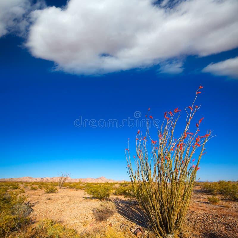 Las flores rojas de los splendens del Fouquieria del Ocotillo en Mohave abandonan imagen de archivo libre de regalías