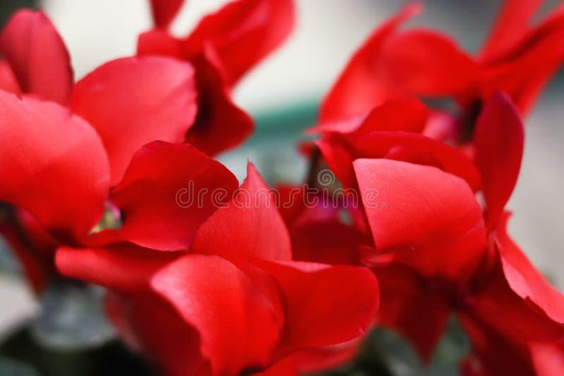 Las flores rojas del ciclamen se cierran para arriba foto de archivo libre de regalías