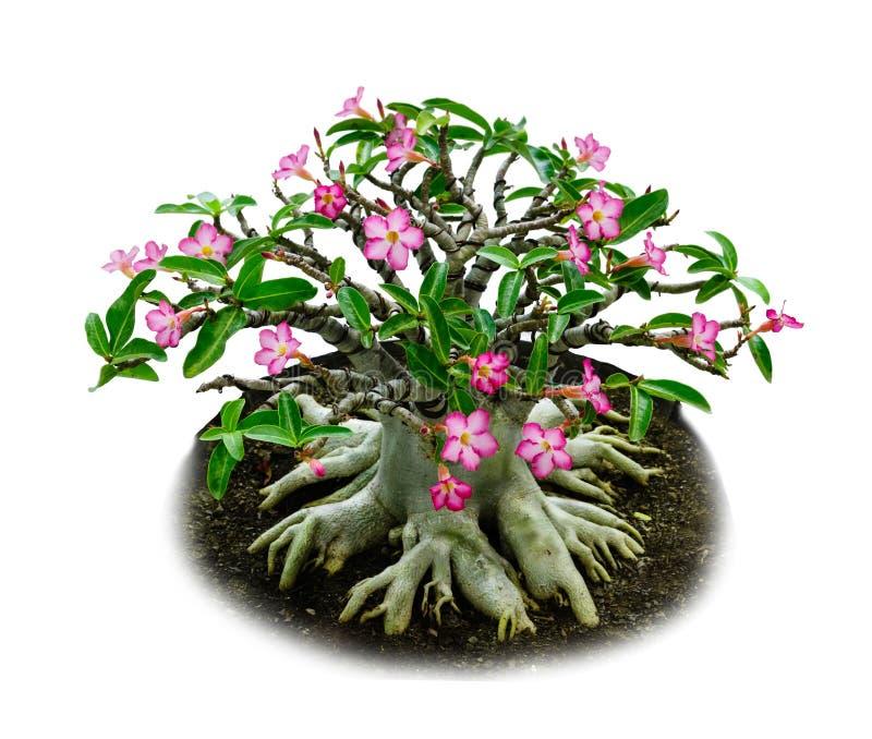 Las flores rosadas aisladas abandonan el lirio color de rosa o de impala fotografía de archivo libre de regalías