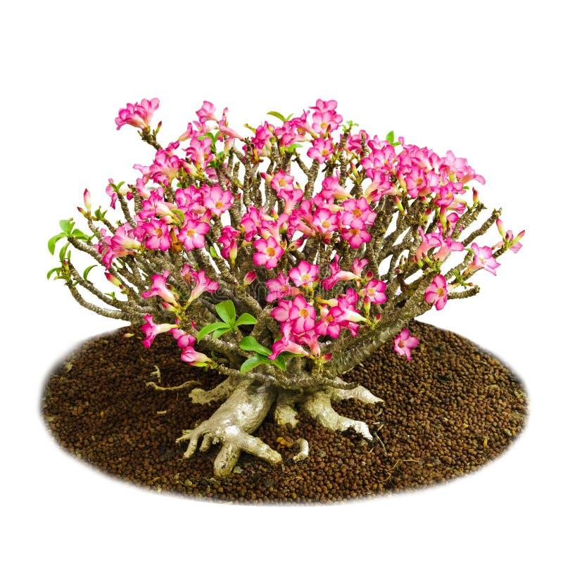 Las flores rosadas aisladas abandonan el lirio color de rosa o de impala imagen de archivo