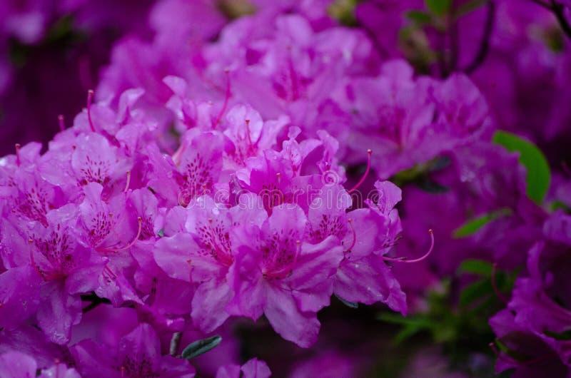 Las flores rosadas brillantes se cierran para arriba fotos de archivo libres de regalías