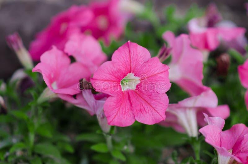 Las flores rosadas de la petunia están floreciendo en el jardín fotografía de archivo libre de regalías