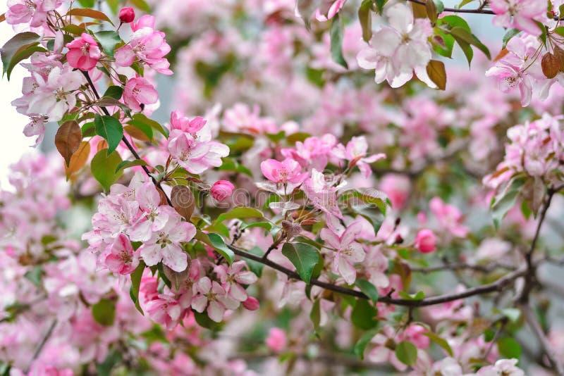 Las flores rosadas de Sakura se cierran para arriba, las flores de cerezo foto de archivo libre de regalías