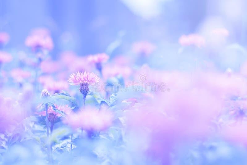 Las flores rosadas de un aciano en un azul pintaron el fondo Una foto apacible hermosa es conveniente para las postales foto de archivo