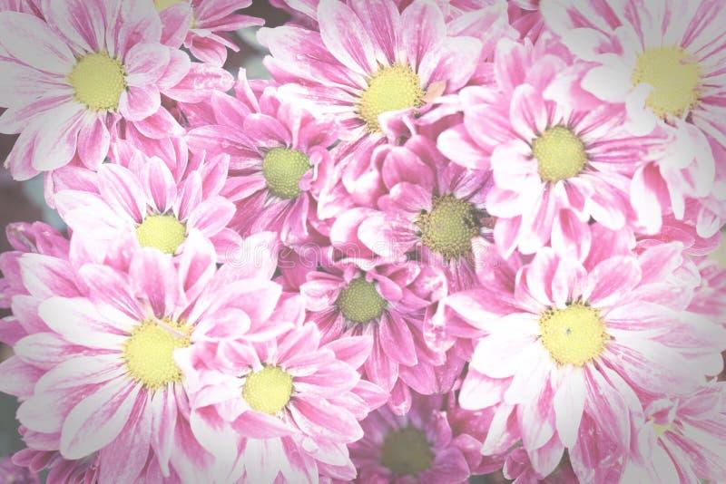 Las flores rosadas del crisantemo, vintage entonaron estilo fotos de archivo