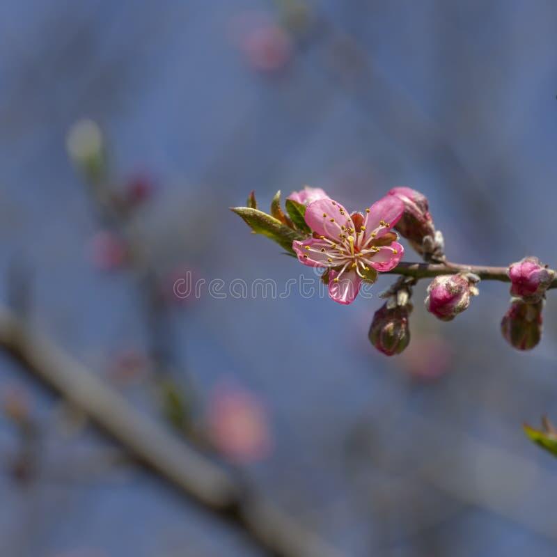 Las flores rosadas del melocot?n comienzan a florecer en el jard?n Rama floreciente hermosa del melocot?n en fondo borroso del ja imágenes de archivo libres de regalías
