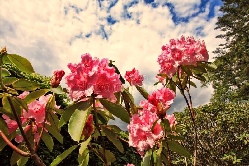 Las flores rosadas del rododendro se cierran para arriba imagen de archivo