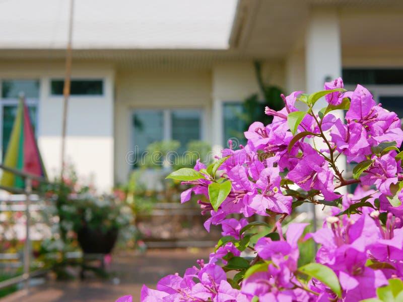 Las flores rosadas púrpuras al aire libre de la buganvilla plantaron afuera para adornar una casa imagenes de archivo
