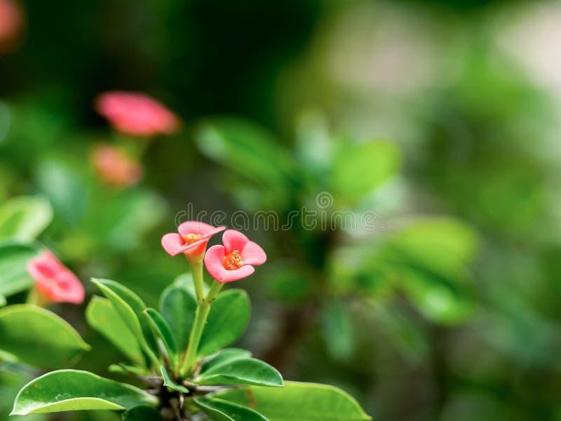 Las flores rosadas Poi Sian del primer florecen la floración con la hoja verde fotografía de archivo