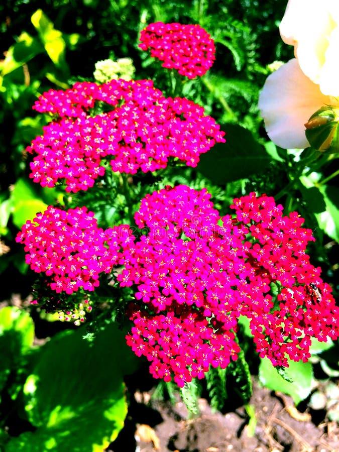 las flores rosadas son una decoración real del jardín fotografía de archivo