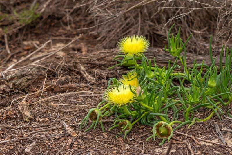 Las flores salvajes amarillas se cierran para arriba, suculento Hardy Yellow Ice Plant en flor fotografía de archivo