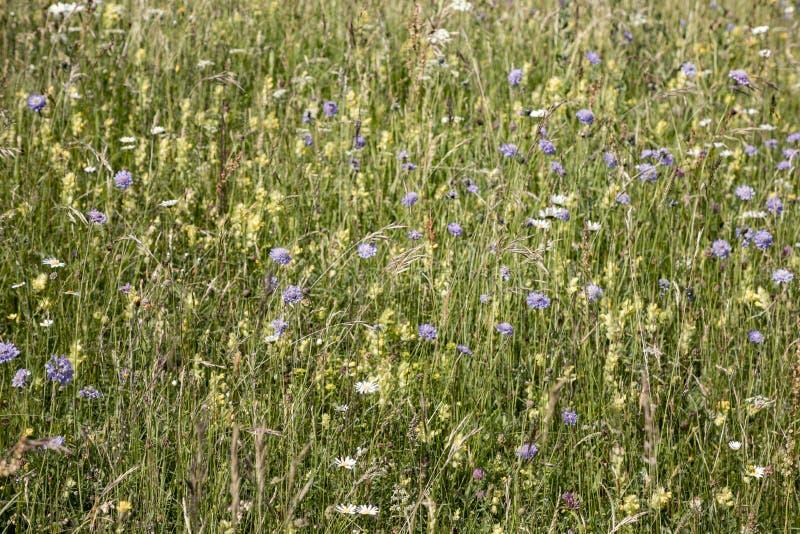 Las flores salvajes crecen en el prado verde foto de archivo libre de regalías