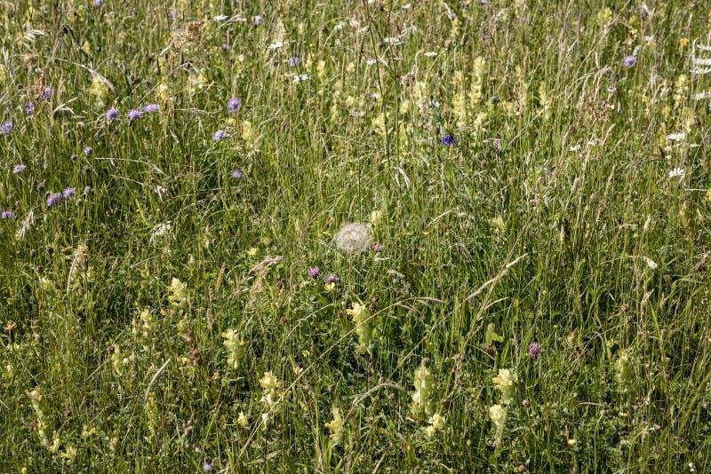 Las flores salvajes crecen en el prado verde fotografía de archivo libre de regalías