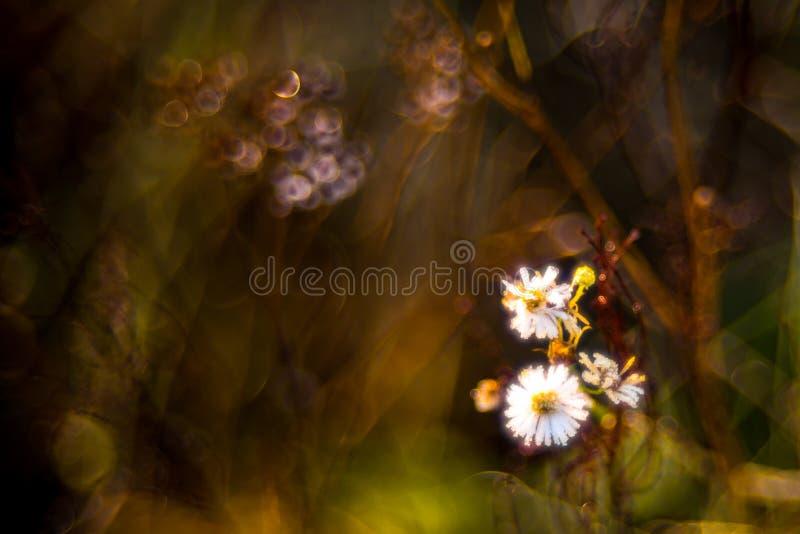 Las flores salvajes de la manzanilla en caída secan el prado imágenes de archivo libres de regalías