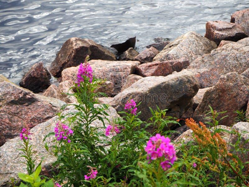 Las flores salvajes rosadas crecen en la costa en el fondo de la agua de la roca y de mar fotografía de archivo libre de regalías
