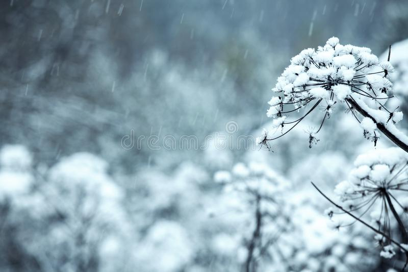 Las flores se cubren con el hielo, nieve foto de archivo