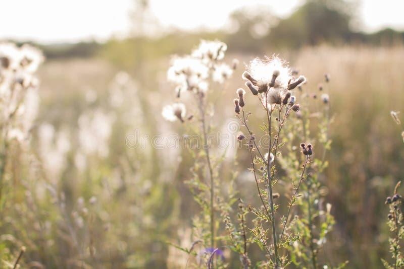 Las flores secas en verano colocan, fondo natural del otoño del verano fotos de archivo libres de regalías