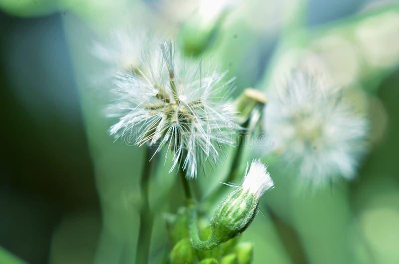 Las flores son blancas, como los girasoles con tamaños muy pequeños de troncos verdes fotografía de archivo libre de regalías