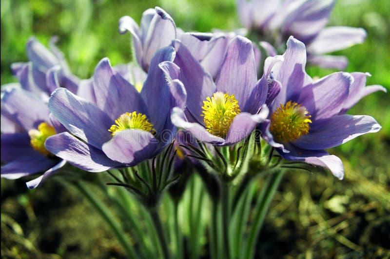 Las flores violetas del resorte del sol. fotos de archivo libres de regalías