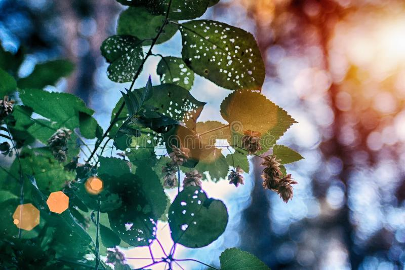 Las flores y las hojas de los saltos se cierran para arriba en fondo verde Ciérrese para arriba de los saltos frescos minimalista foto de archivo