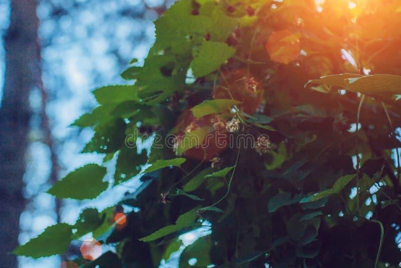 Las flores y las hojas de los saltos se cierran para arriba en fondo verde Ciérrese para arriba de los saltos frescos minimalista imagen de archivo libre de regalías
