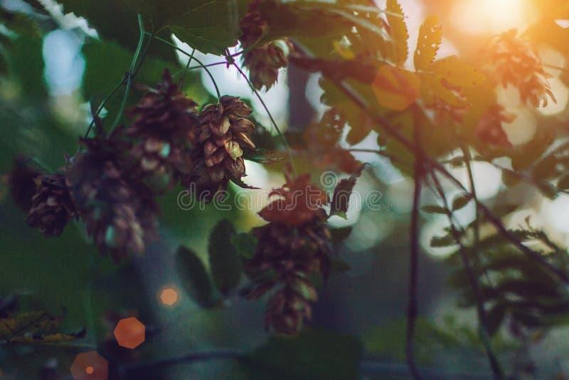 Las flores y las hojas de los saltos se cierran para arriba en fondo verde Ciérrese para arriba de los saltos frescos minimalista fotografía de archivo libre de regalías