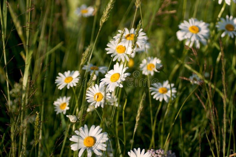 Las flores y la hierba se encendieron por iluminado por el sol caliente en un prado del verano Margaritas del prado fotografía de archivo libre de regalías