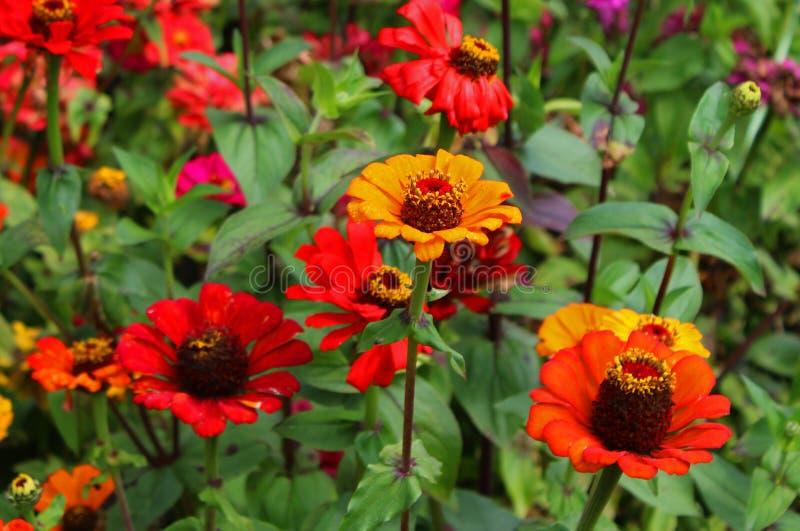 Las flores y los brotes decorativos rojo oscuro del jardín en el bryant parquean, kodaikanal imágenes de archivo libres de regalías